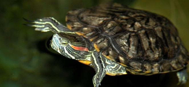 Sea Life Centre Manchester - Loo the terrapin - education on illegal release of unwanted pets
